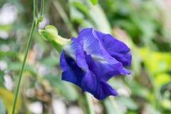 Il fiore è bello ed utile Il fiore del pisello è erba Fotografia Stock Libera da Diritti