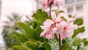 Il fiore è plumeria perenne fotografie stock libere da diritti