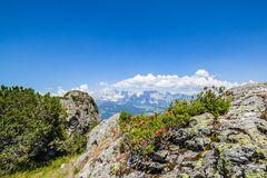 Il fiore Alpenrose sulla montagna Reiteralm e sulla montagna distante ha suonato Fotografia Stock