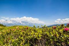 Il fiore Alpenrose sulla montagna Reiteralm e sulla montagna distante ha suonato Immagini Stock
