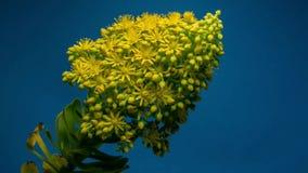 Il fiore apre il lento-Mo archivi video