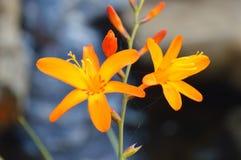 Il fiore arancio Fotografia Stock Libera da Diritti
