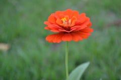 Il fiore arancio Immagini Stock
