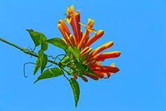 Il fiore arancio del rampicante di tromba Fotografia Stock