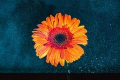 Il fiore arancio luminoso con acqua spruzza su contro la parte posteriore di buio Immagine Stock