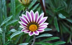 Il fiore beatuful di Gazania nel giardino fotografie stock
