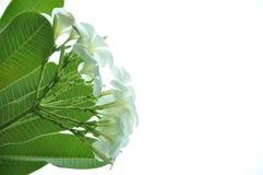Il fiore bianco è Immagine Stock Libera da Diritti