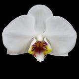 Il fiore bianco dell'orchidea ha isolato fotografie stock libere da diritti