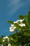 Il fiore bianco di plumeria immagine stock