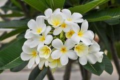 Il fiore bianco di plumeria immagine stock libera da diritti