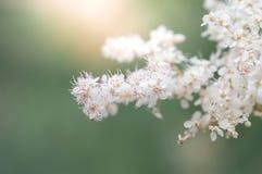 Il fiore bianco di spirea su un bello fondo ed il sole si accendono Fuoco selettivo Immagine Stock