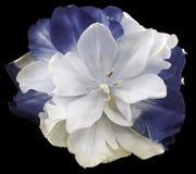 il fiore Bianco-grigio-blu del tulipano sul nero ha isolato il fondo con il percorso di ritaglio Nessun ombre closeup fotografia stock