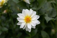 Il fiore bianco ha isolato immagine stock libera da diritti