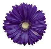 il fiore bianco viola della gerbera, bianco ha isolato il fondo con il percorso di ritaglio closeup Nessun ombre Per il disegno Fotografie Stock