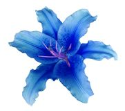 Il fiore blu del giglio su un bianco ha isolato il fondo con il percorso di ritaglio nessun ombre Per progettazione, struttura, c fotografia stock libera da diritti