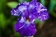 Il fiore blu dell'iride si apre ad un fiore porpora Immagine Stock