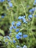 Il fiore blu nel giardino fotografia stock libera da diritti