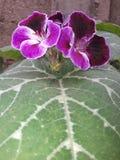 Il fiore che viola più fine mi sia incontrato mai Fotografia Stock