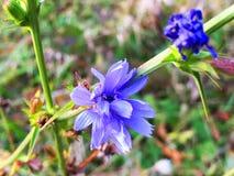 Il fiore Cicorium Intibus, cicoria è selvaggio fotografie stock