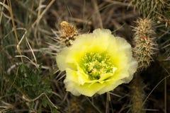 Il fiore del cactus, sceglie con il centro verde Immagini Stock
