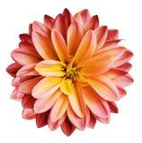 Il fiore del crisantemo rosso-giallo su un bianco ha isolato il fondo con il percorso di ritaglio nessun ombre closeup Per il dis immagine stock libera da diritti