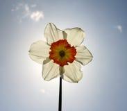 Il fiore del Daffodil backlighted con il sole Fotografia Stock Libera da Diritti