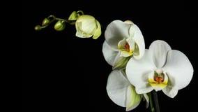 Il fiore del fiore di Orchiday germoglia 4k archivi video