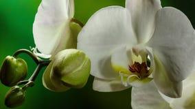 Il fiore del fiore di Orchiday germoglia 4k video d archivio