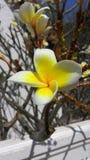 Il fiore del frangipane fotografie stock libere da diritti