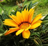 Il fiore del girasole fotografie stock