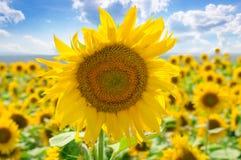 Il fiore del girasole contro il cielo blu e sbocciare sistemano fotografie stock