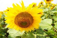Il fiore del girasole si sviluppa nel campo Fotografie Stock