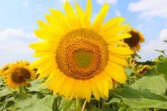 Il fiore del girasole si sviluppa nel campo Immagini Stock