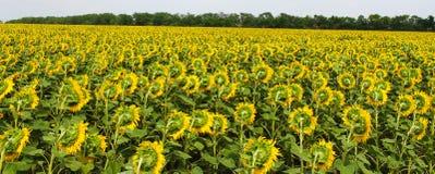 Il fiore del girasole si sviluppa nel campo Fotografia Stock Libera da Diritti
