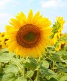 Il fiore del girasole si sviluppa nel campo Immagine Stock Libera da Diritti