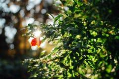 Il fiore del melograno Fotografie Stock Libere da Diritti