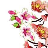 Il fiore del ramo della mandorla sboccia un'illustrazione di vettore del dado illustrazione vettoriale