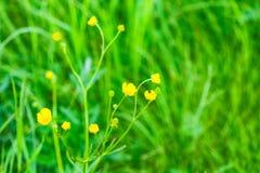 Il fiore del ranuncolo acre, a lungo termine con il nome del ` di cecità del pollo del ` immagini stock