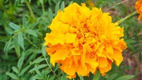Il fiore del tagete Immagine Stock Libera da Diritti