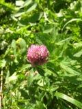 il fiore del trifoglio Fotografia Stock