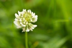 Il fiore del trifoglio nel campo verde Trifolium repens Immagine Stock