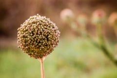 Il fiore dell'aglio, allium sativum in natura Fotografia Stock Libera da Diritti