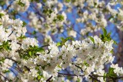 Il fiore dell'albero di albicocca, balza fondo floreale della natura, carta da parati fotografie stock libere da diritti