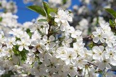 Il fiore dell'albero di albicocca, balza fondo floreale della natura, carta da parati immagini stock libere da diritti