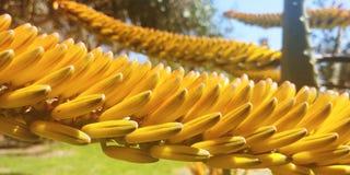 Il fiore dell'aloe, giallo arancione si chiude su Fotografie Stock