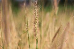Il fiore dell'erba Fotografie Stock