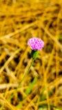 Il fiore dell'erba Fotografia Stock