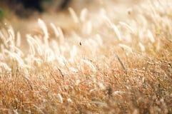 Il fiore dell'erba di giallo della sfuocatura alla luce calda Immagine Stock Libera da Diritti