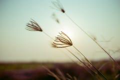 Il fiore dell'erba sul fondo di tramonto fotografia stock libera da diritti