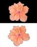 Il fiore dell'ibisco ha isolato 2 stili immagine stock
